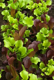 Baby Letuce Mix