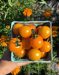Tomatoes are ready! The variety is Sungo