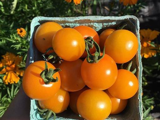 Week 12 - Tomatoes