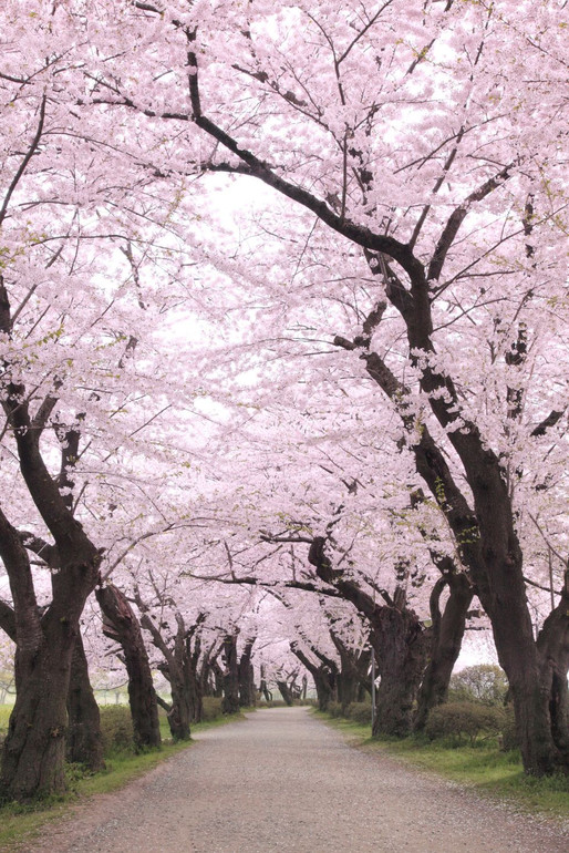Wanderlust Wednesday: Japan in Cherry Blossom Season