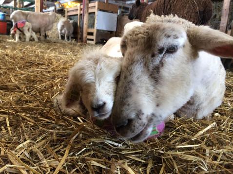 Ewe Lamb.jpg