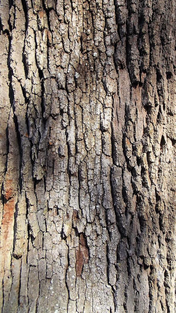 live-oak-tree-bark-brown-grey.jpg