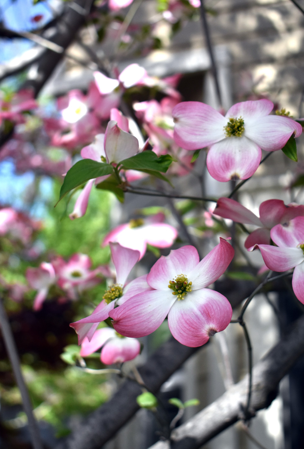 Dogwood blooms in spring, at a residence close by