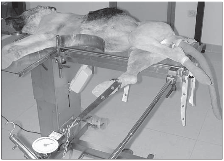 Fig. 6 Positioning for traction of the hindlimb for the cranio-medial approach to the tibia. The limb is subjected to traction by traction bands, and the dog's body is held in position by nylon bands.