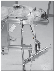 Fig. 2 Positioning for traction of the forelimb, with cranio-medial approach to the radius-ulna. The limb is subjected to traction by traction bands (D), and the dog's body is held in position by nylon bands (E).