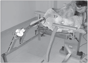 Fig. 5 Positioning for traction of the hindlimb for a bilateral approach to the tibia. The opposition point is provided by a limb rest (I).