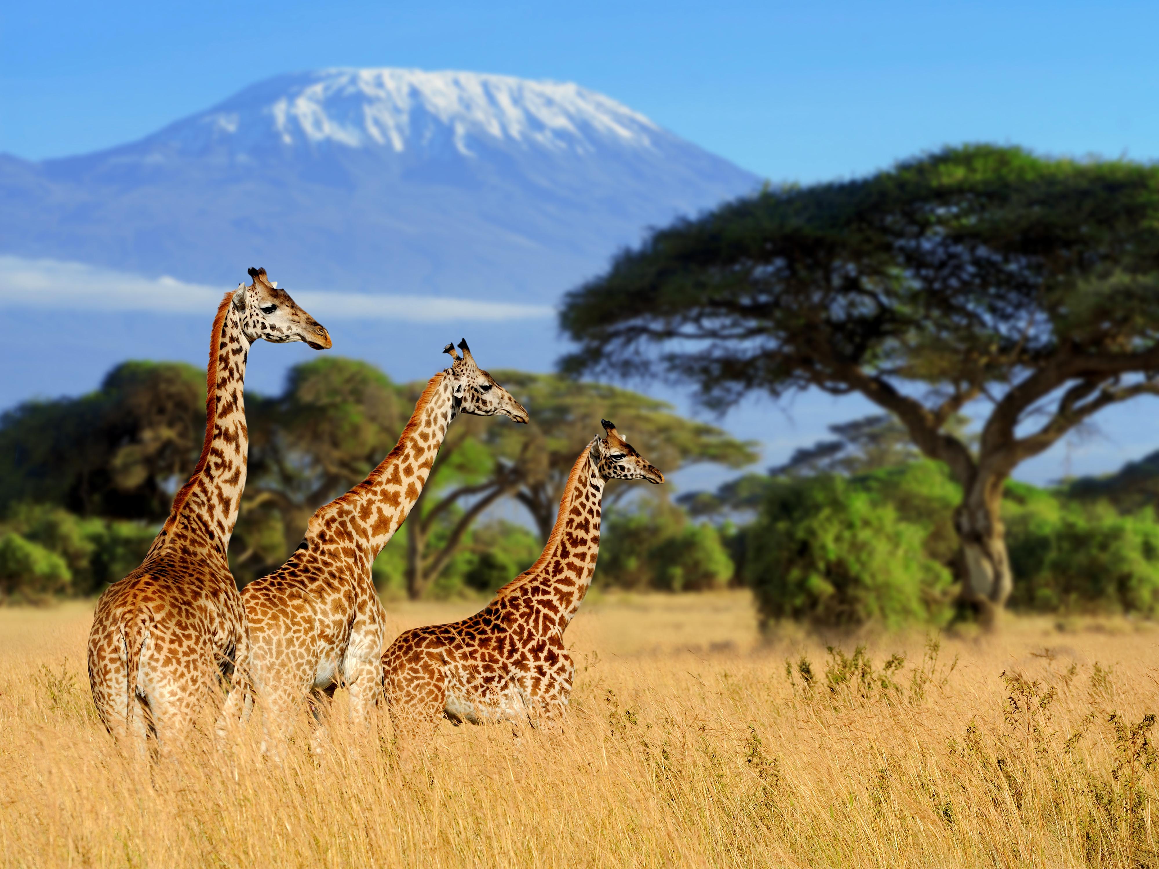 Three giraffe on Kilimanjaro mount backg