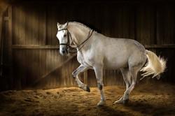 White horse make dressage piaff  in dark manege