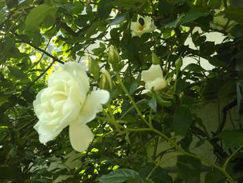 薔薇の季節となってしまいました…