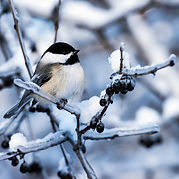 Black Capped Chickadee.jpeg
