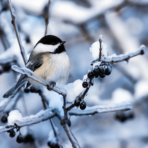Black-Capped Chickadee Wooden Puzzle