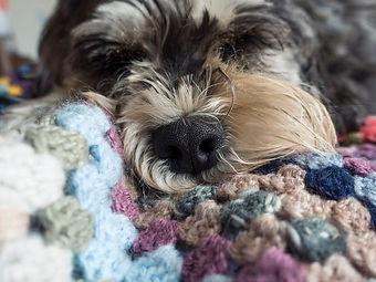 Schnauzer dog sleeping on crochet blanket