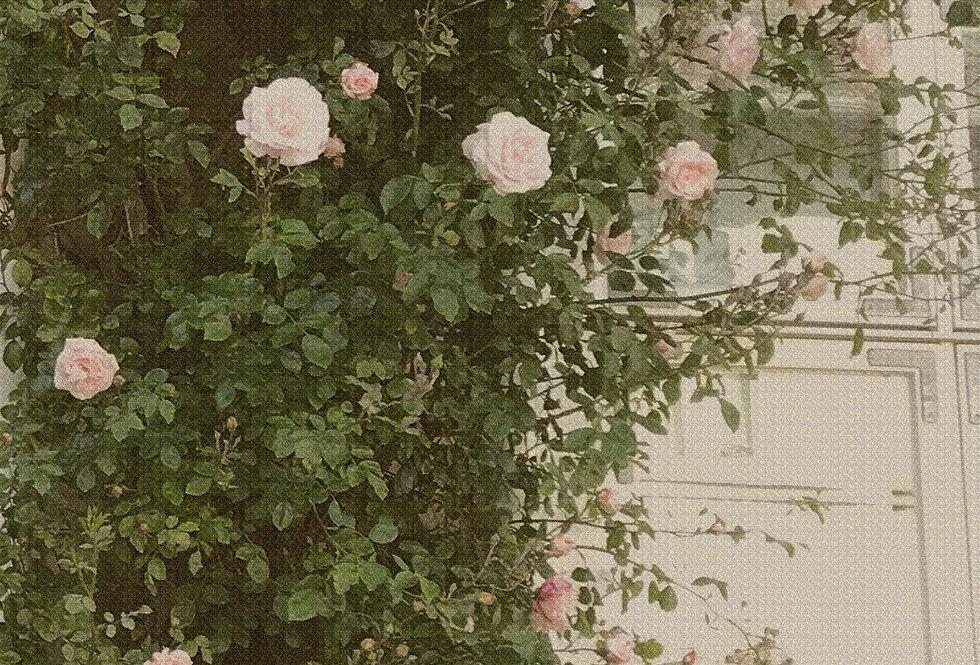 ROSE NO.1
