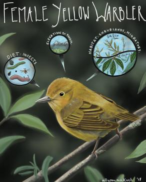 Female Yellow Warbler