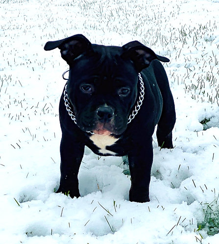 SOLD - CH Grimm x Dilly Dilly - Black Ghost Tri Female