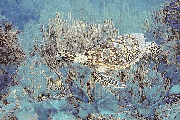 Swimming Sea Turtle Canvas