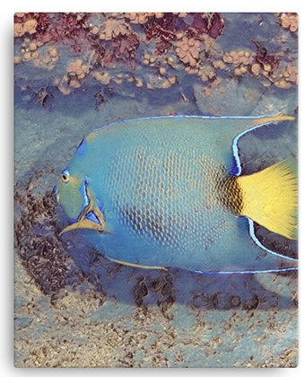 Blue Tang Fish Canvas