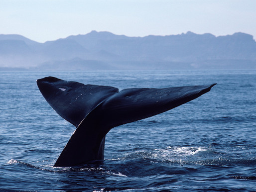 We May Never Understand the Ocean-Wide Damage Done by Industrial Whaling