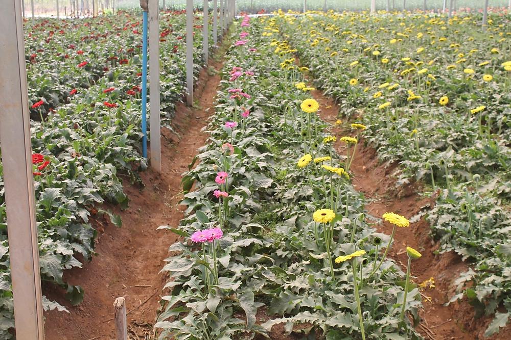 Flores-Turismo-Holambra-Gerberas