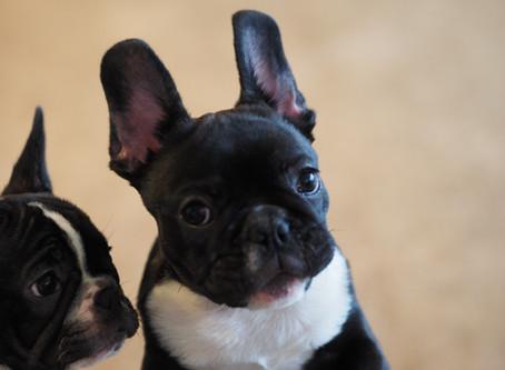 今週末はフレンチブルドッグ子犬ご見学相談会開催です♬ 営業時間のお知らせ