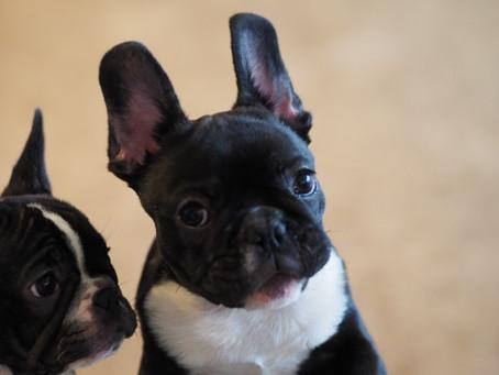 今週末はフレンチブルドッグ子犬ご見学相談会開催です♬|営業時間のお知らせ