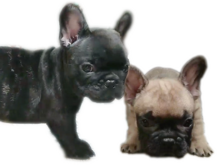 子犬販売も熱い☀️|8月の子犬達🌻来週はブリンドル・フォーン姉妹ご見学開始です!