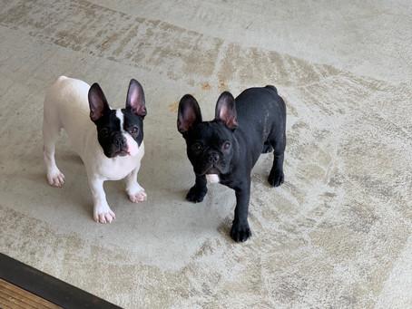 適度な加湿で快適に!|今週末はフレンチブルドッグ子犬ご見学相談会を開催です|