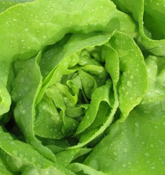 bibb butter head lettuce.PNG