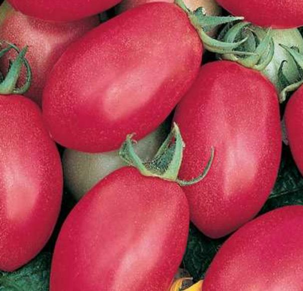 porter tomato.PNG