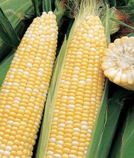 ambrosia sweet corn.PNG