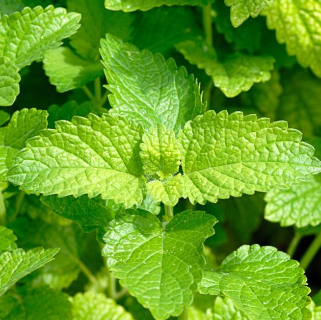 lemon lettuce.PNG