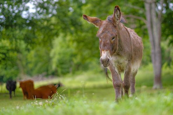 donkey stoic.jpg