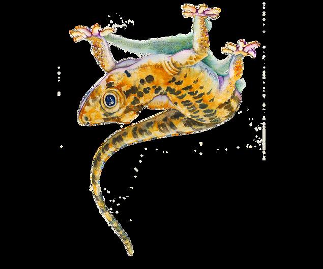 Gecko-Semifinal.png