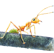 Ant-Semifinal-1000px.png
