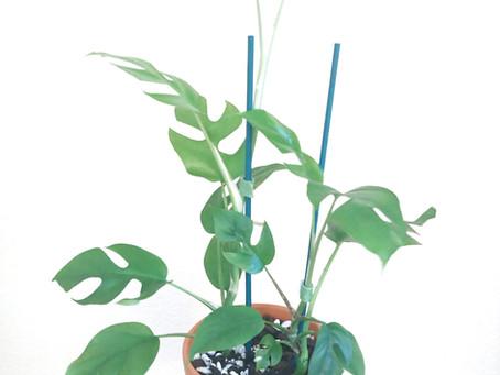Plant Spotlight: Rhaphidophora Tetrasperma
