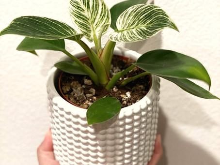 Plant Spotlight: Philodendron Birkin