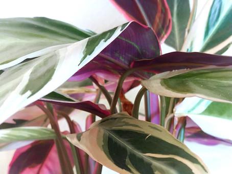 Plant Spotlight: Stromanthe Sanguinea Triostar