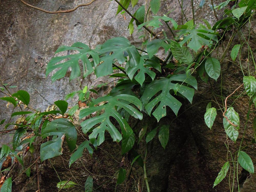 Rhaphidophora tetrasperma, big leaved form on limestone rock, Khao Sok, Thailand (Copyright Patrick Blanc)
