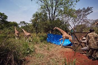 07_GiraffeRelease_TomMustill.jpg