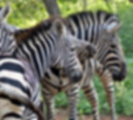 Zebras grazing infront of the lapa and Thonningii Luxury Tent