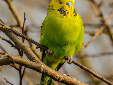 Muhabbet Kuşu Ve Papağanlarda Pododermatitis (Bumble Foot)
