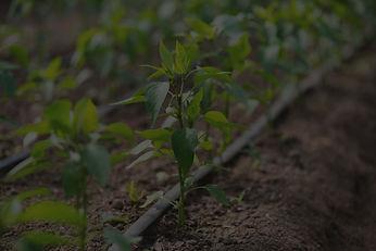 Drip line in vegetable garden.