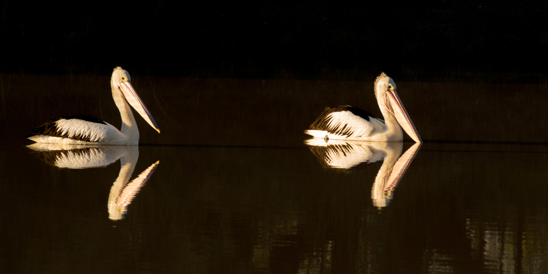 Mirrored pelicans at Noccundra water hole