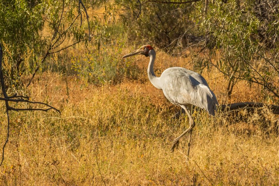 Brolga stalking its mate
