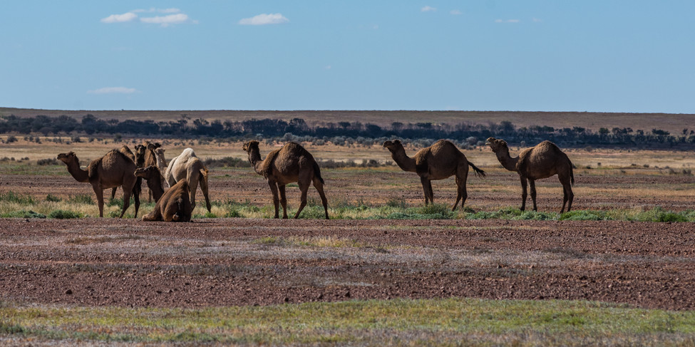 Camels on the side of the road