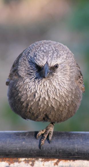 Apostle Bird