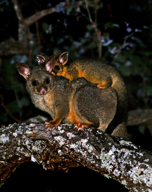 Brush Tail Possums