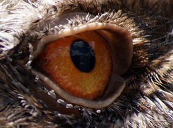 Frogmouth close up