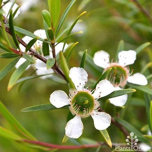 LEMON TEA TREE (Leptospermum petersonii)