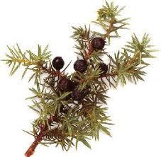 JUNIPERBERRY (Juniperus communis)